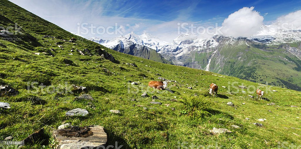 Alps and cows royalty-free stock photo