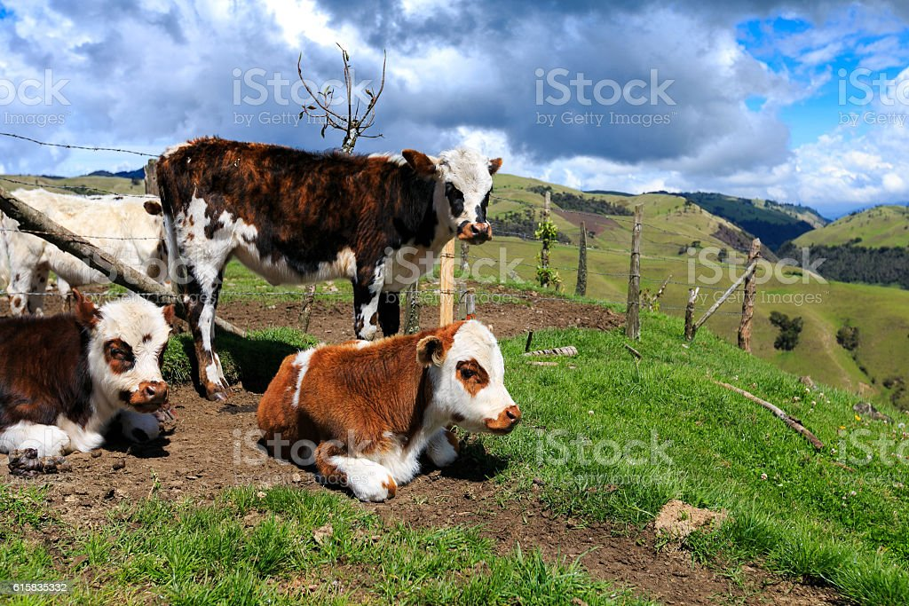 alps cows in the mountains, colombia stock photo