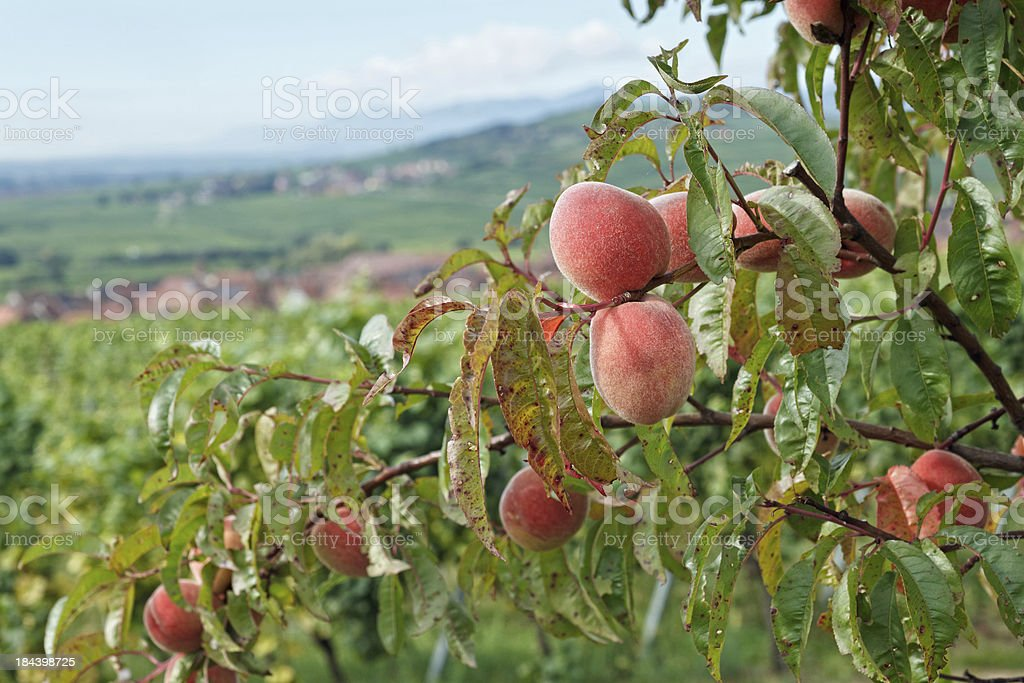 Alsace - Peach trees in the vineyards stock photo
