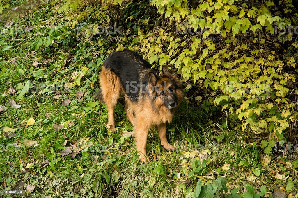 Autumn land. Alsatian dog in nature.
