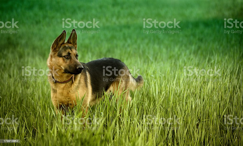 Young Alsatian dog on the green meadow.