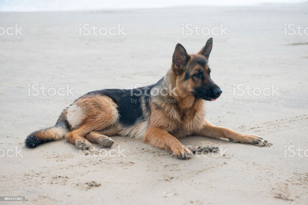 Alsatian dog laying on a sandy beach royalty-free stock photo