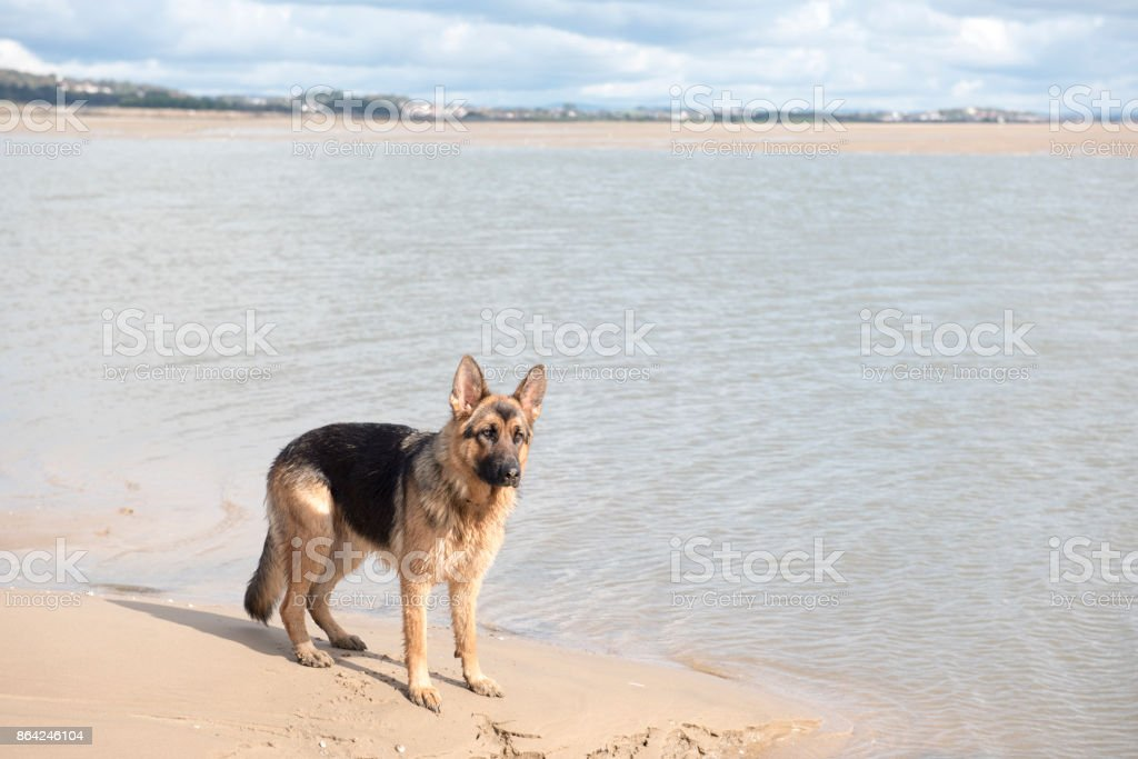 Alsatian dog playing by the water royalty-free stock photo