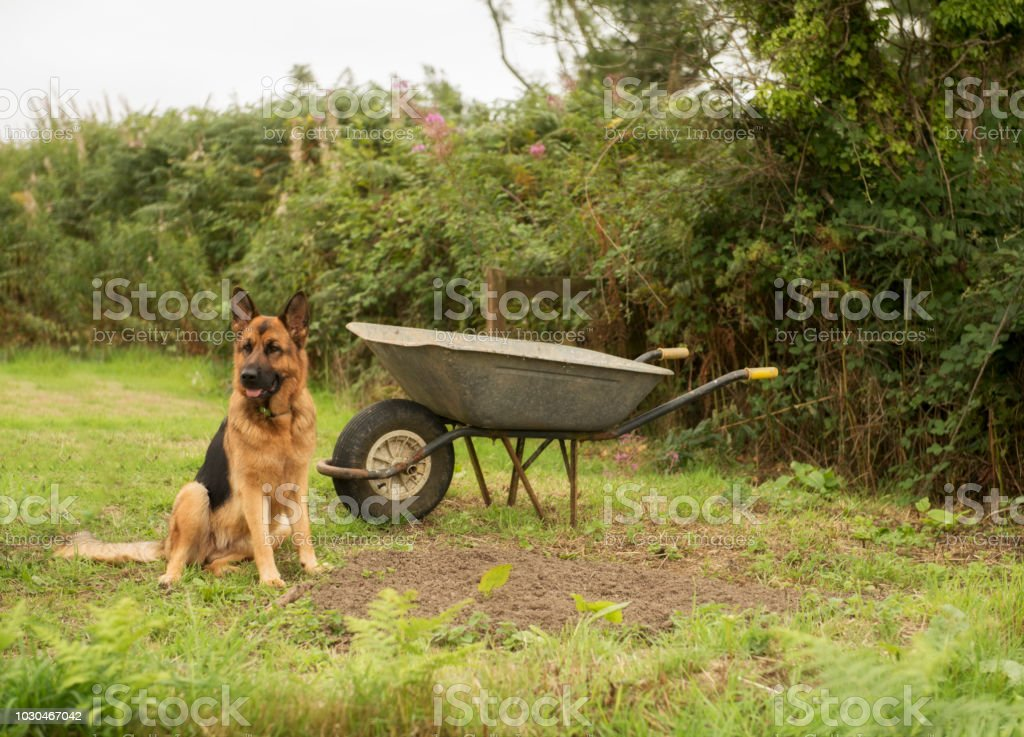 Alsatian dog sitting outdoors by a wheelbarrow