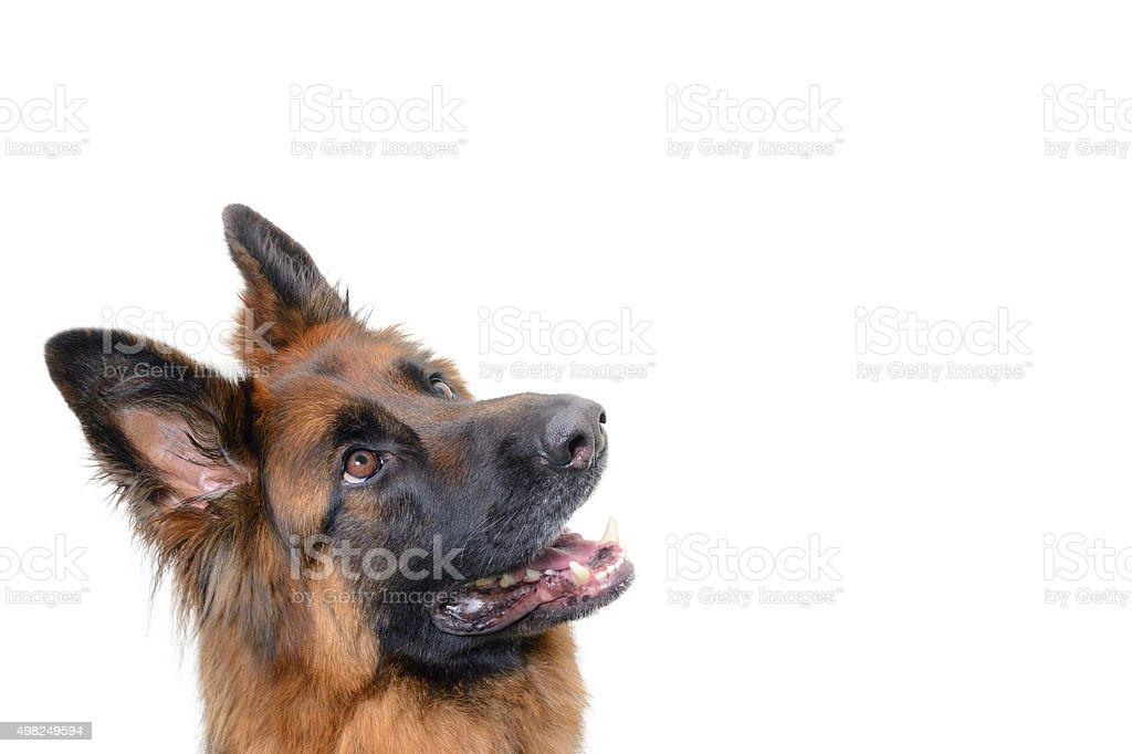 Alsation Hund suchen - Lizenzfrei Deutscher Schäferhund Stock-Foto