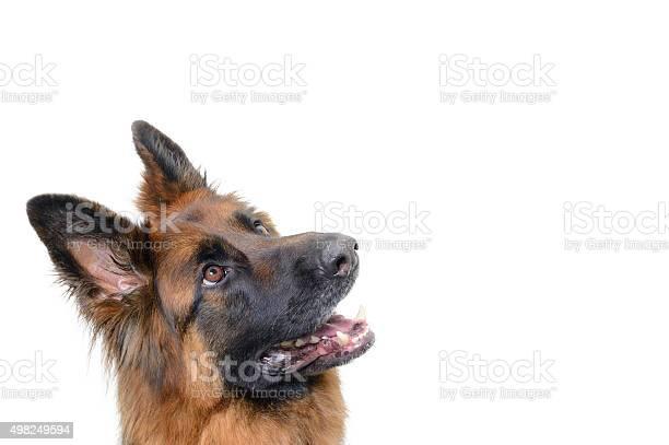 Alsation Hund Suchen Stockfoto und mehr Bilder von Deutscher Schäferhund