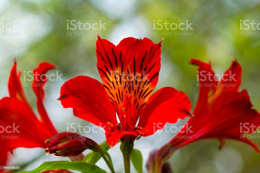 Alstroemeria aurea, Peruvian lily, Kodaikanal, Tamil Nadu stock photo