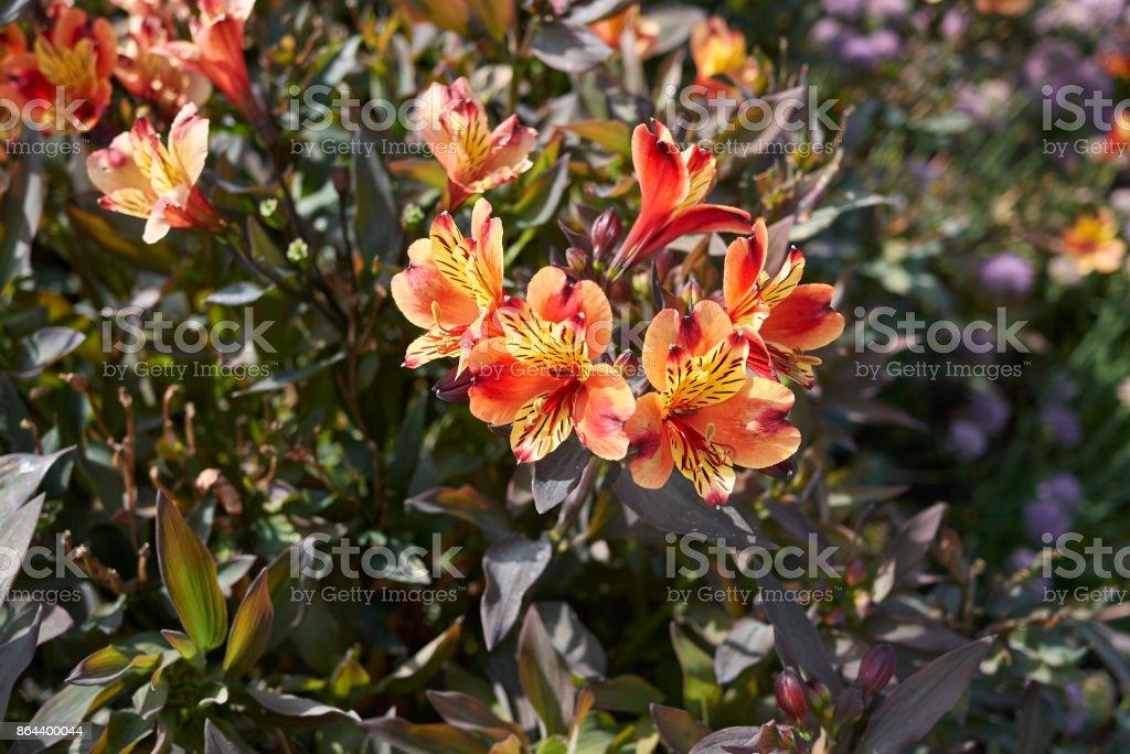 Alstroemeria blooming stock photo