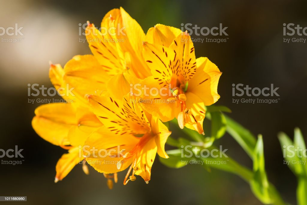 Alstroemeria flowers in yellow ( Peruvian lily, or lily of the Incas ) stock photo