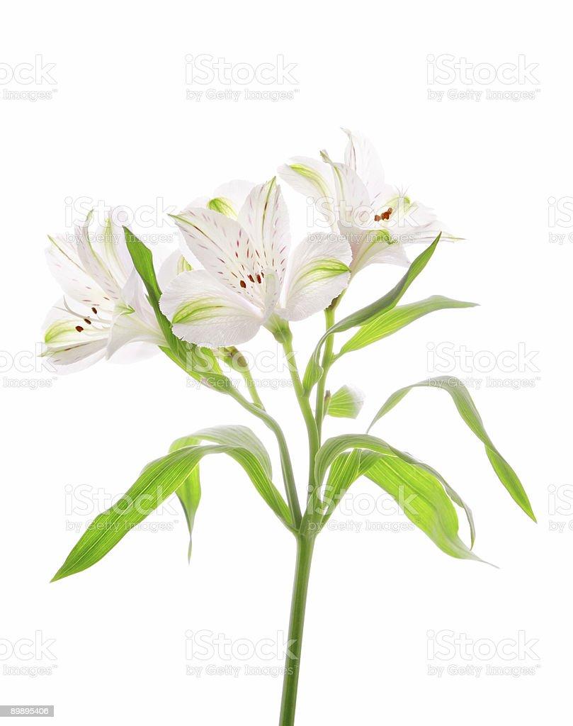 Alstroemeria flores foto de stock libre de derechos