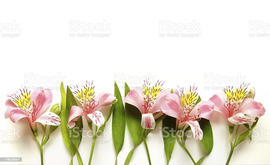 Alstroemeria Peruvian Lilies Flowers isolated on white royalty-free stock photo