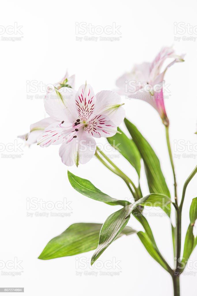 Alstroemeria Peruvian lily flower stock photo