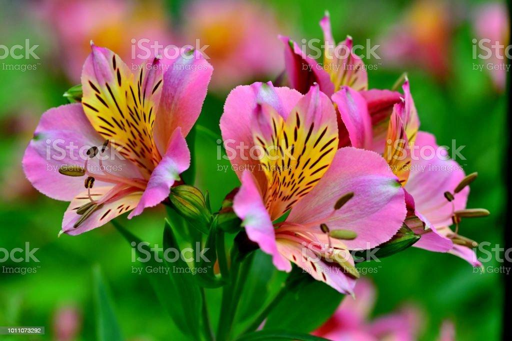 Alstroemeria / Peruvian Lily stock photo