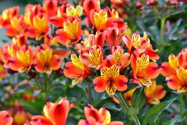 Alstroemeria / Peruanische Lilie – Foto