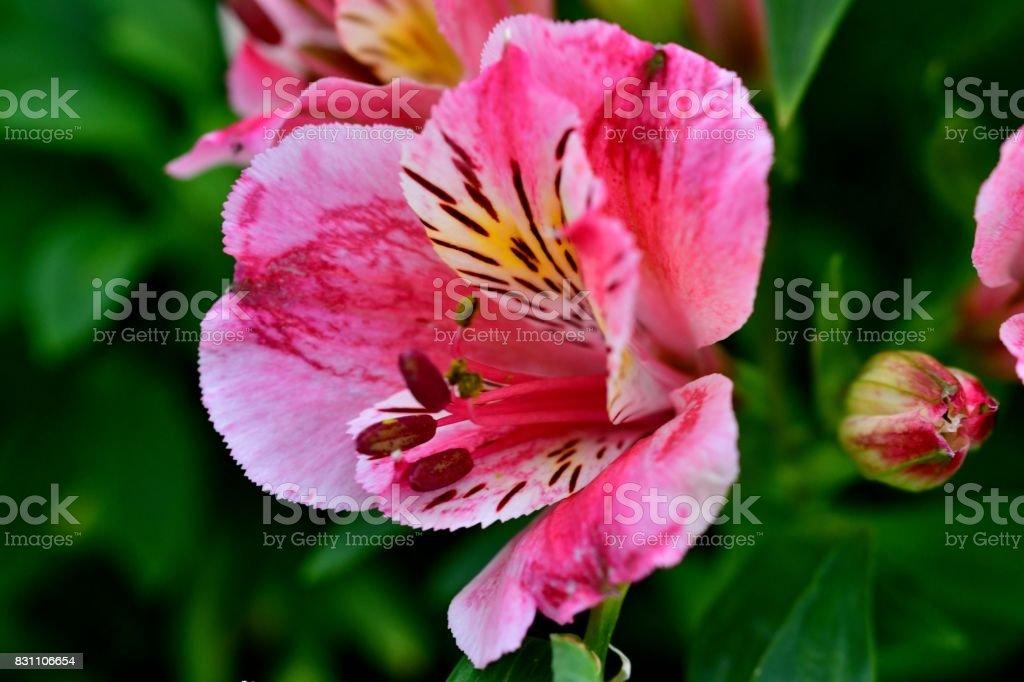 Alstroemeria Peruvian Lily Stock Photo Download Image Now Istock