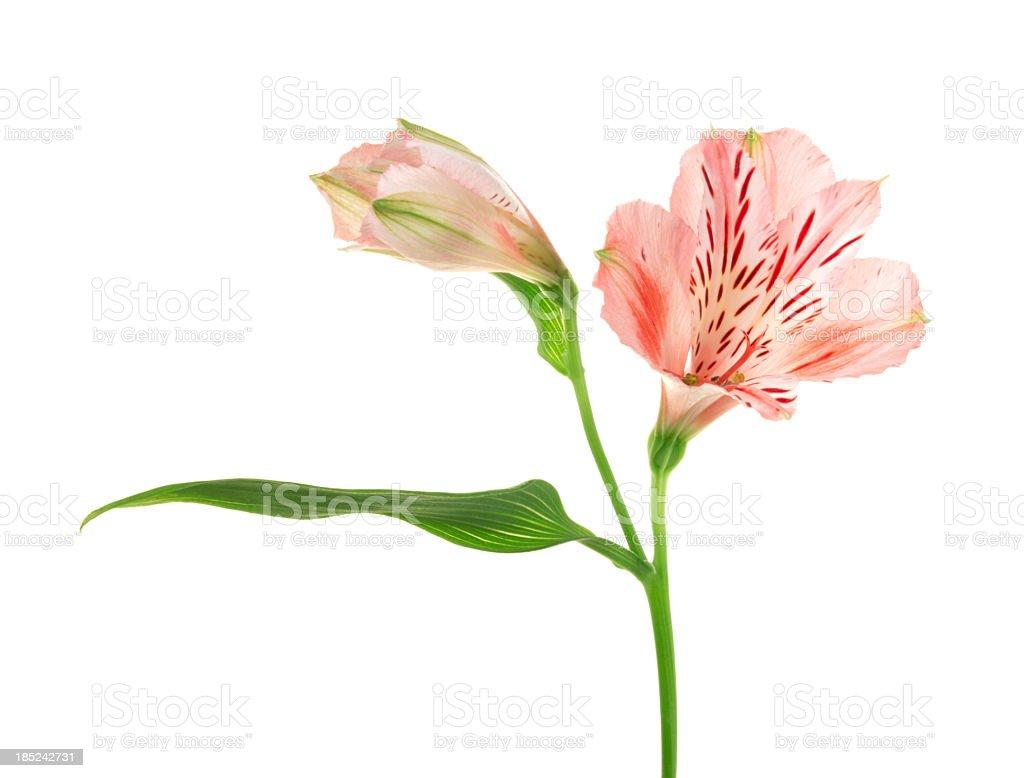 Alstroemeria. stock photo