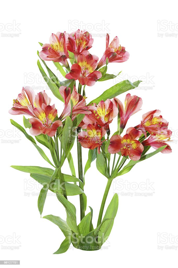 Alstroemeria Plant royalty-free stock photo