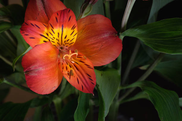Alstromeria Bloom stock photo