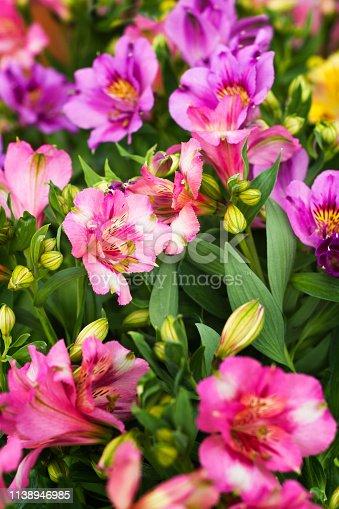 Close up macro of alstromeria or Peruvian lilly