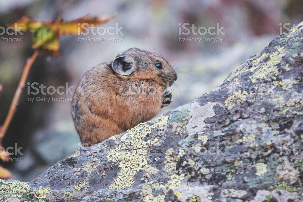 Altai pika on stone. Rodent stock photo