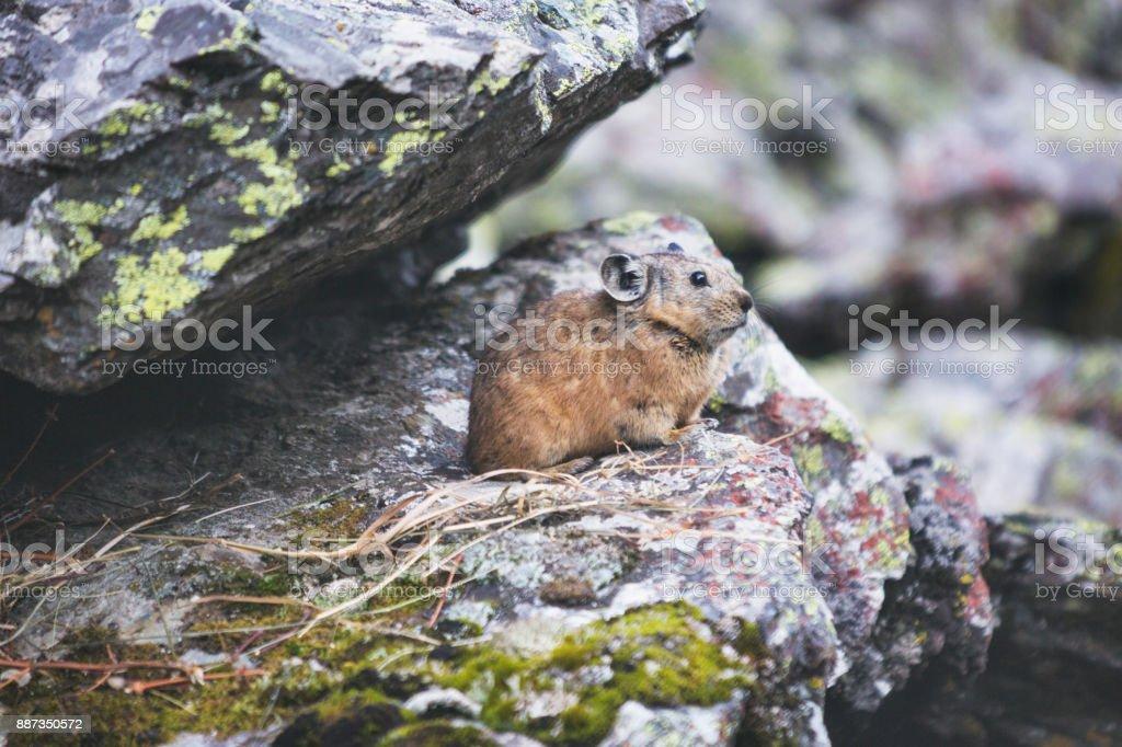 Altai pika on stone. Wild animal stock photo