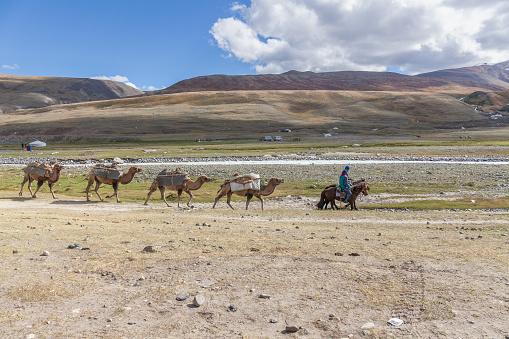 Altai, Mongolia - June 14, 2019: Caravan of camel in Mongolian Altai. Altai Tavan Bogd National Park in Bayar-Ulgii, Mongolia.