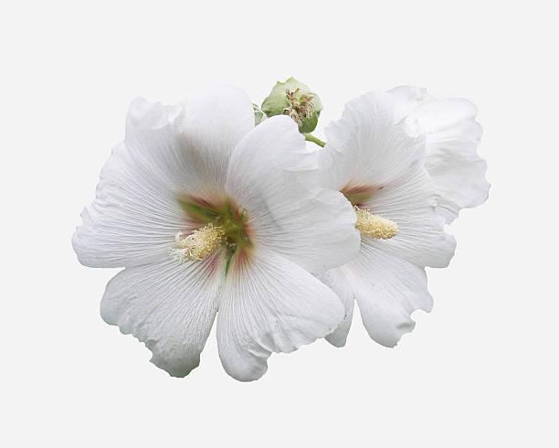 Altea rosea. stock photo