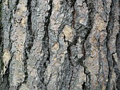 Brown trunk texture of spruce. The texture of spruce bark. Abstract form background
