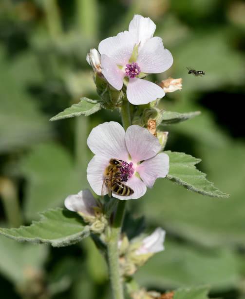 Althaea; Officinalis; weiß; Blüte; kraut – Foto