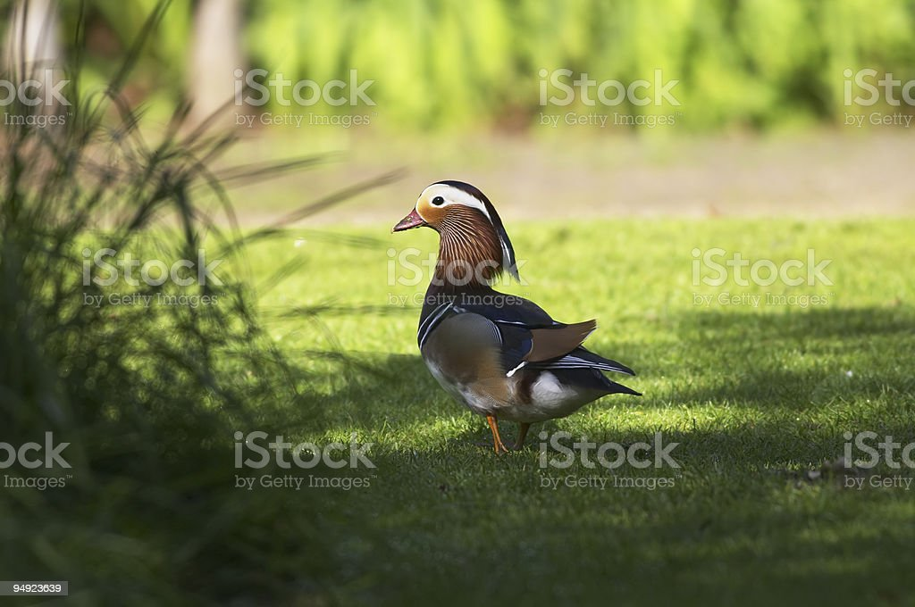 Fidelity mandarin duck in shade and early morning sunlight stock photo
