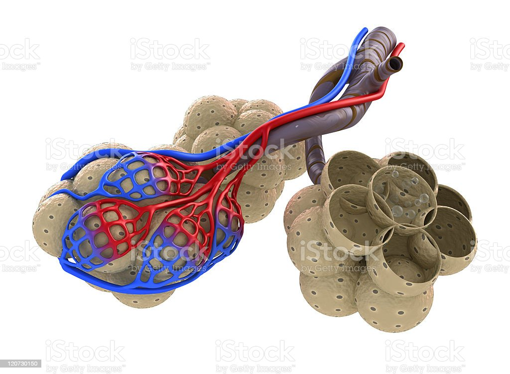 Alveoli in lungs - blood saturating by oxygen stock photo