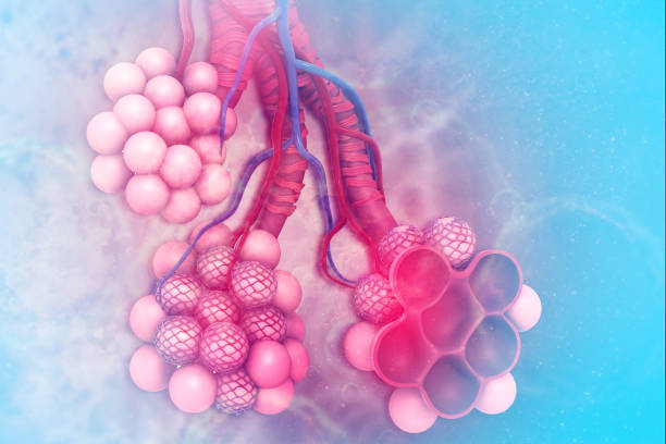 Alveoli in lungs Alveoli in lungs alveolus stock pictures, royalty-free photos & images
