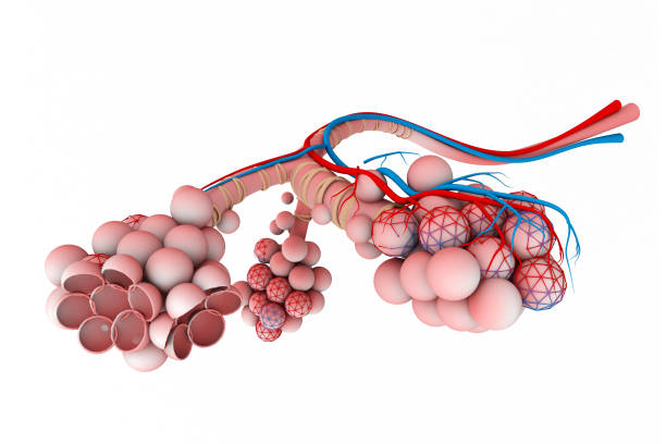 Alveoli in lungs Alveoli in lungs alveolar duct stock pictures, royalty-free photos & images