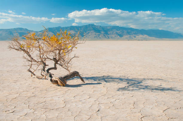 Alvord Desert,Oregon Alvord Desert playa dry lake bed in Eastern Oregon,USA with cracked surface and a scrub bush with yellow flowers in the foreground. The Steens Mountains rise above the horizon in the background lake bed stock pictures, royalty-free photos & images