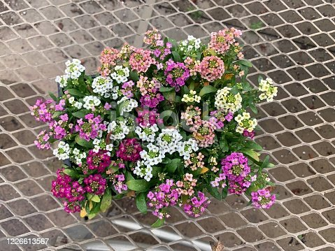 Pretty Alyssum at nursery