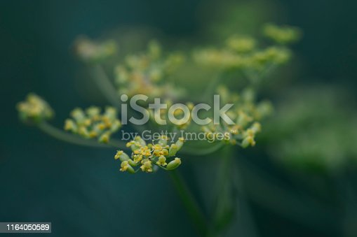 A Selective Focus View of Alyssum Flower