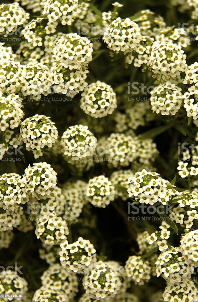 Alyssum stock photo