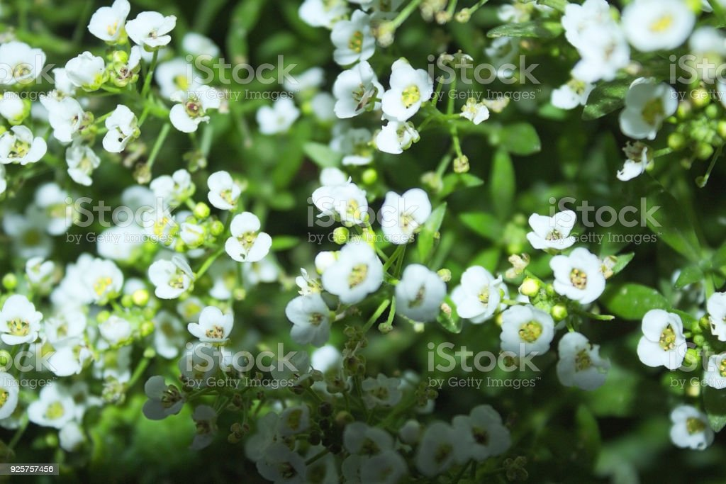 Alyssum white fragrant flower grows a large bush in the park the alyssum white fragrant flower grows a large bush in the park the garden mightylinksfo