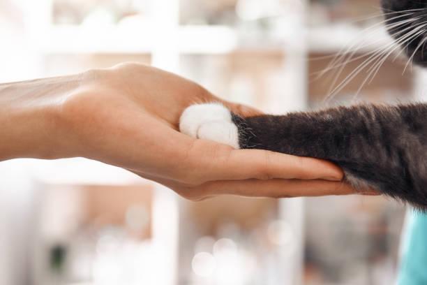 hastam için bir arkadaşım. veteriner kliniğinde bir kontrol sırasında siyah kabarık kedi bir pençe tutan kadın veteriner el yakın çekim fotoğrafı. - pati stok fotoğraflar ve resimler