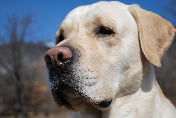 I am a Labrador stock photo