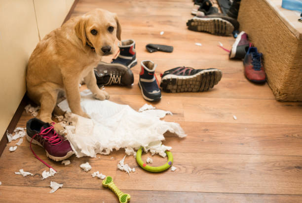 I am guilty Cute puppy with diaper and shoes at home, she makes mess guilty stock pictures, royalty-free photos & images