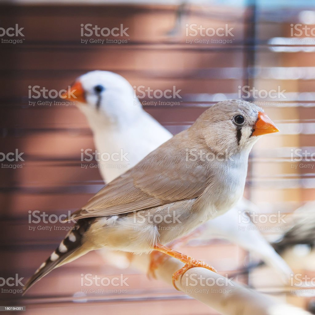 amadina fasciata bird stock photo