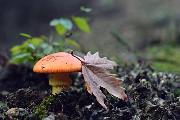 Amanita Caesarea Mushroom stock photo