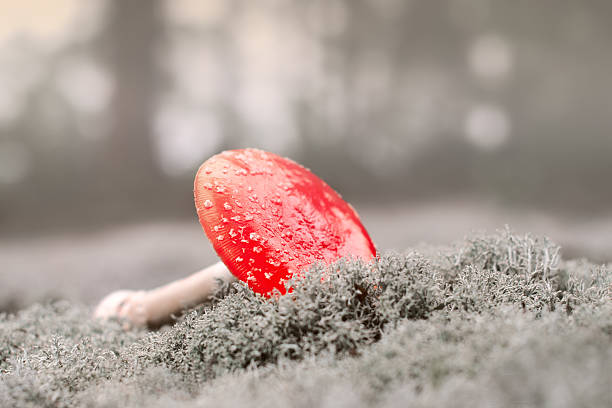 Amanita in the misty forest Nature background deleterious stock pictures, royalty-free photos & images