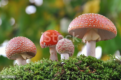 Red toxic mushroom, the most famous psychedelic mushrooms