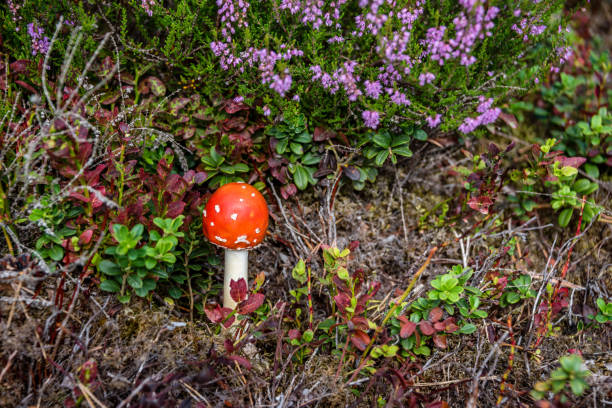 Amanita muscaria Mushroom Growing in a Latvian Forest - foto stock