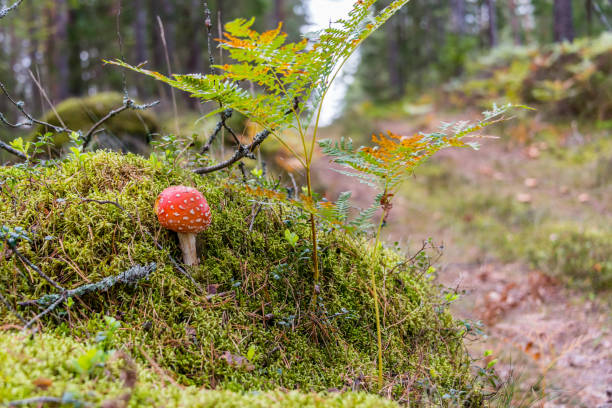 Amanita muscaria Mushroom in a Forest - foto stock