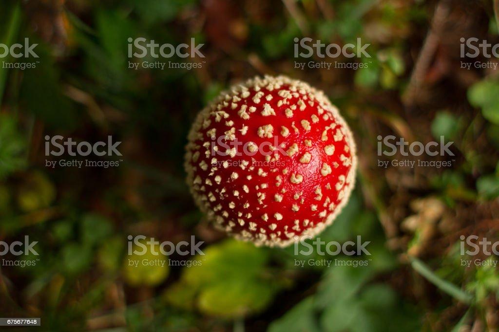 Amanita Muscaria mushroom in its natural habitat royalty-free stock photo