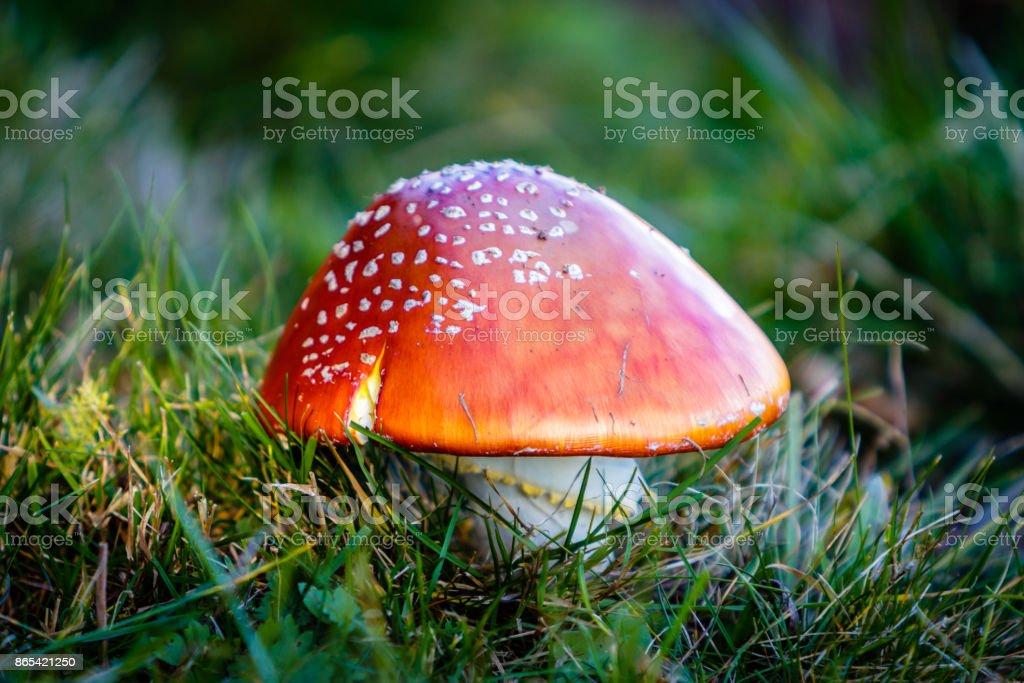 Amanita muscaria mushroom stock photo