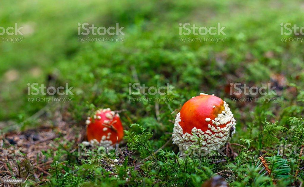 Amanita muscaria stock photo